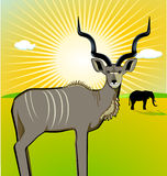 A Male Kudu Stock Photography