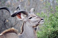 Male Kudu. Impressive fully grown male Kudu Stock Photos