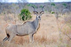 Male Kudu. Dominant male Kudu with massive horns Stock Image
