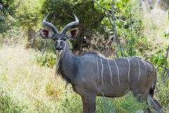 Male Kudu Stock Image