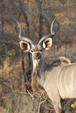 Male kudu. At Kruger National park, South Africa Stock Images