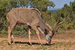 Male of kudu antelope Royalty Free Stock Images