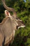 Male Kudu Antelope _ Botswana Stock Image