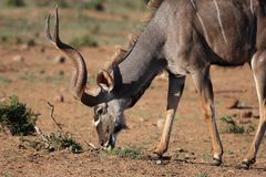Male Kudu Antelope Eating Royalty Free Stock Image