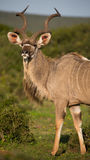 Male Kudu Antelope with Long Horns Royalty Free Stock Photo
