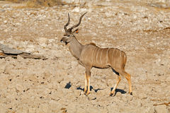 Male kudu antelope Royalty Free Stock Photo