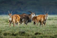 Male kudu antelope Tragelaphus strepsiceros in natural habitat, Etosha National Park, Namibia. A a rare roan antelope Hippotragus equinus, South Africa Wild Royalty Free Stock Image