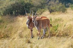 Male kudu antelope Tragelaphus strepsiceros in natural habitat, Etosha National Park, Namibia. A a rare roan antelope Hippotragus equinus, South Africa Wild Stock Images