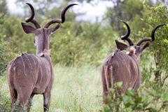 Male Kudu antelopes Stock Photo