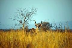 Male Kudu antilop Royaltyfria Bilder