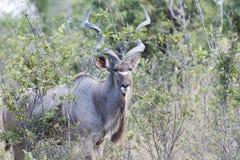 Male Kudu. In the bush of the Okavano Delta, Botswana. Seen on a gamedrive Royalty Free Stock Photo