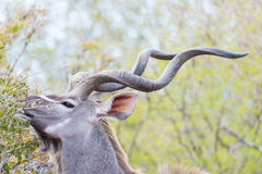 Male Kudu in the bush. Wildlife Safari in the Kruger National Park, major travel destination in South Africa. Royalty Free Stock Photo