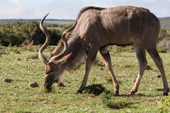 Male Kudu eating. A male Kudu eats grass at a nature reserve in the karoo in South Africa Stock Image