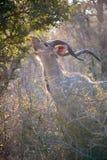 Male Kudu eating at Kruger National park Royalty Free Stock Image