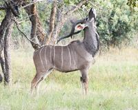 Male Kudu eating leaves Stock Photo