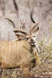 Male kudu in Kruger National Park Royalty Free Stock Image