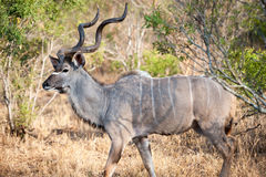 Male Kudu at Kruger National park Stock Photo