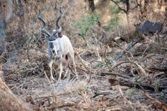 Male Kudu at Kruger National park Stock Images