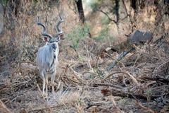 Male Kudu at Kruger National park Stock Image