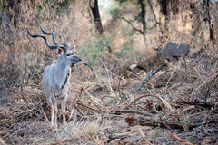 Male Kudu at Kruger National park Royalty Free Stock Images