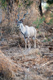 Male Kudu at Kruger National park Royalty Free Stock Photos