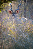 Male Kudu at Kruger National park Royalty Free Stock Photo