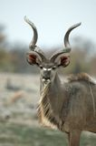 Male kudu portrait. A male kudu with his giant horns Stock Photo