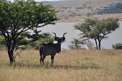 Male Kudu resting Royalty Free Stock Image