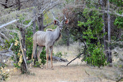Male kudu in the woods Royalty Free Stock Photos