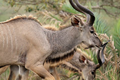 Male Kudus_01 Stock Photo