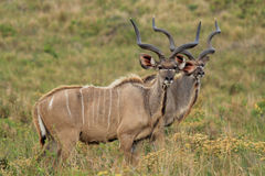 Male Kudus_02 Stock Image