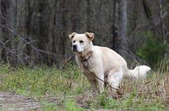 Golden Retriever Dog Pooping, Pooper Scooper Law stock photography