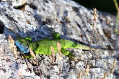 Male Lacerta Viridis Royalty Free Stock Photos