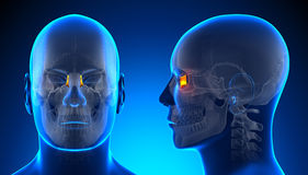Male Lacrimal Skull Anatomy - blue concept Royalty Free Stock Photos
