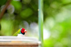 Male Lady Gouldian finch bird in food bowl. Adult male Gouldian finch standing in a plastic bowl in an aviary in Butterfly World, South Florida.  The Gouldian Stock Images