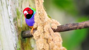 Male Lady Gouldian finch bird Stock Photo