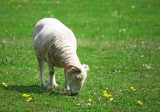 Male lamb Stock Photo