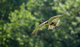 Male Lanner Falcon in flight Stock Photography