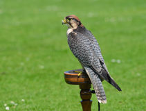 Male Lanner Falcon on perch. Stock Image