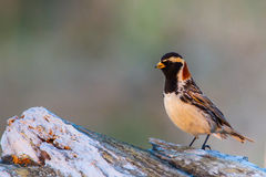 Male Lapland Longspur Stock Images