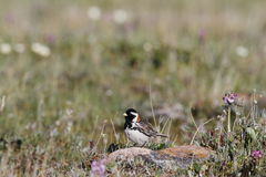 Male Lapland Longspur (Calcarius lapponicus) Royalty Free Stock Photography