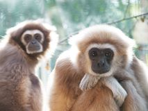 An adult lar gibbon is sitting sadly or thoughtfully with his head on his knees. Royalty Free Stock Photos