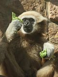 A male lar gibbon is eating a salad leaf Royalty Free Stock Photo