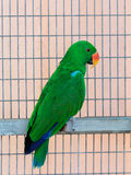 Male of the large green parrot-Eclectus roratus-is sitting on a crossbar near the grid at the Gan Guru Zoo in Kibbutz Nir Davi. Male of the large green parrot Stock Photo