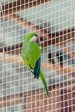 Male of the large green parrot - Eclectus roratus - is sitting on a grid at the Gan Guru Zoo  in Kibbutz Nir David in Israel Royalty Free Stock Images