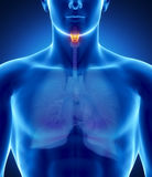 Male larynx anatomy Stock Images