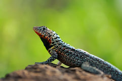 Male Lava Lizard Royalty Free Stock Photo