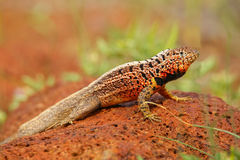 Male Lava Lizard on North Seymour island, Galapagos National Par Royalty Free Stock Photo
