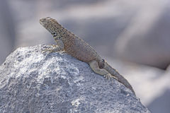 Male Lava Lizard on a Rock Stock Photography
