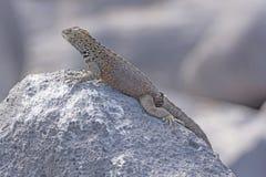 Male Lava Lizard on a Rock Stock Photography